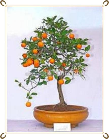Portakal Bonsai Ağacı