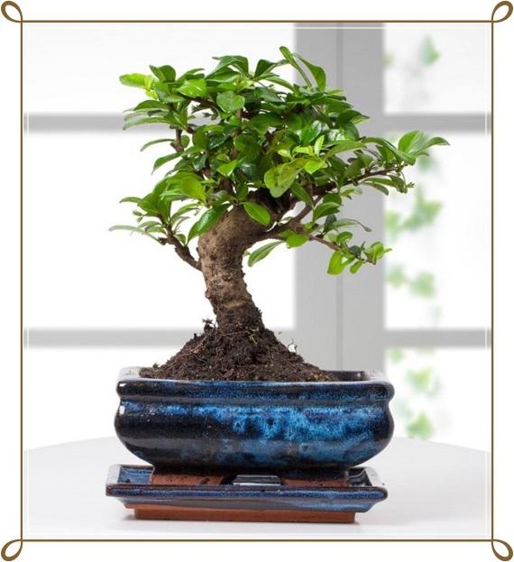 Zelkova Bonsai Ağacı